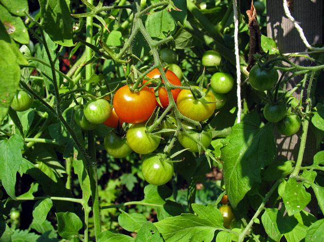 Tomatenpflanze unter einem Tomatendach